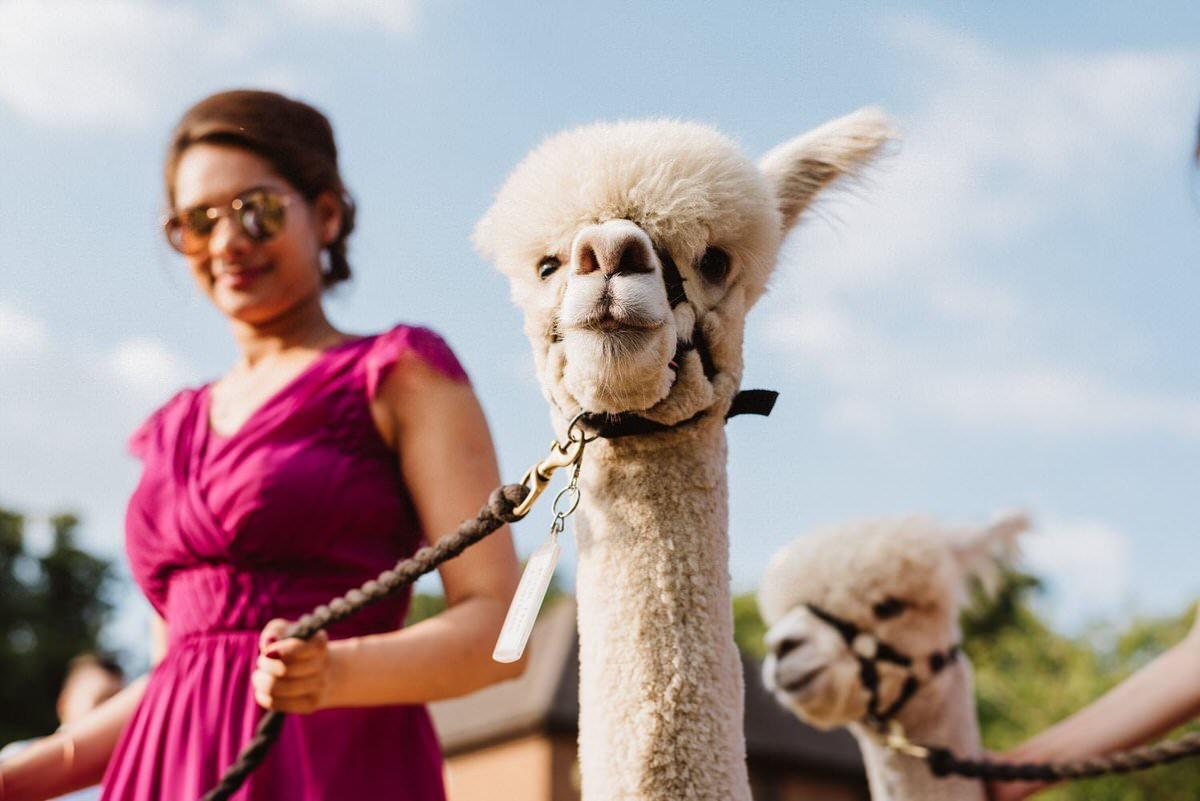 A bridesmaid with sunglasses on is leading a fluffy white alpaca with a little smile.